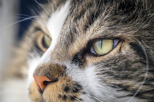 Primer plano de un lindo gato maine coon esponjoso con hermosos ojos verdes