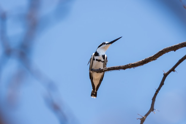Primer plano de un lindo martín pescador blanco y negro encaramado en una rama de árbol de acacia. vista de telefoto desde abajo contra el cielo azul claro.