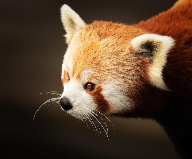 Primer plano de un lindo panda rojo