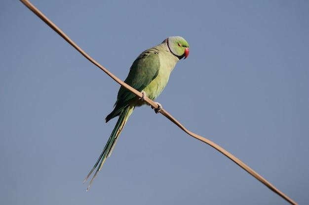 Primer plano de un lindo periquito de cuello anillado indio o loro verde encaramado sobre un cable contra un cielo azul