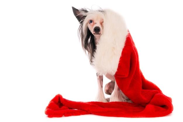Primer plano de un lindo perro crestado chino con sombrero decorativo de navidad aislado sobre fondo blanco.