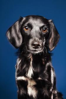 Primer plano de un lindo perro sobre un fondo azul.