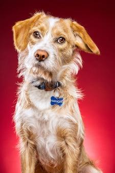 Primer plano de un lindo perro sobre un fondo rojo.