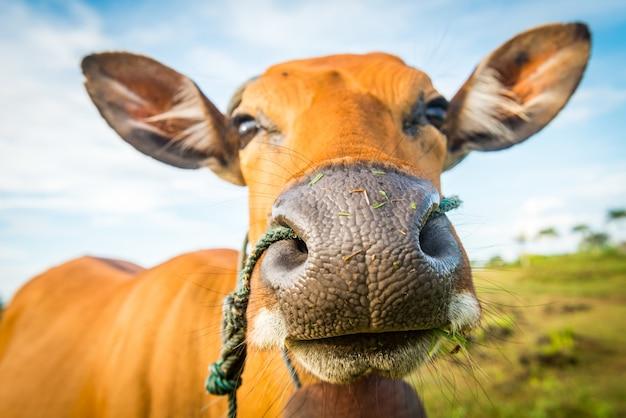 Primer plano lindo de la vaca