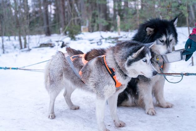 Primer plano de lindos perros esquimales en un bosque nevado