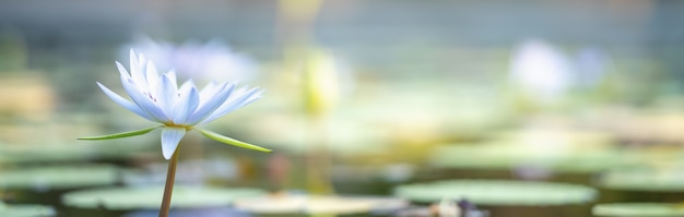 Primer plano de lotus de agua blanca en el estanque con hoja verde utilizando como concepto de página de mantel de flora natural.