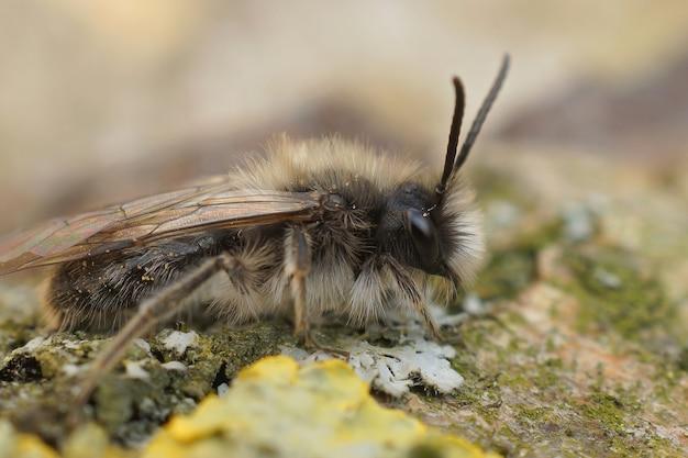 Primer plano de un macho de una abeja minera dawn en peligro de extinción sobre una superficie cubierta de musgo