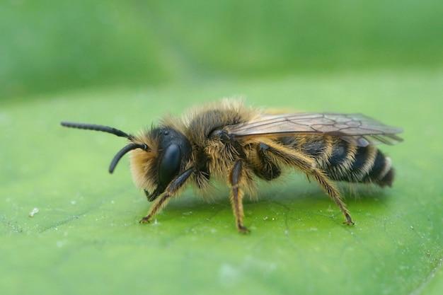 Primer plano de un macho de abejas mineras de patas amarillas (andrena flavipes) sobre una hoja verde