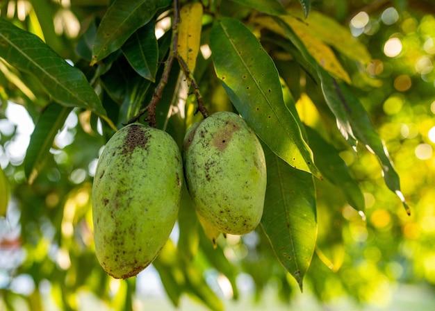 Primer plano de mangos verdes frescos colgando de un árbol