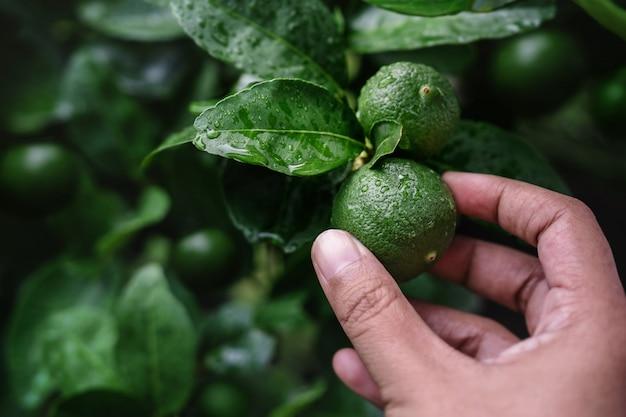 Primer plano de la mano del agricultor recogiendo un limón verde fresco en granja orgánica