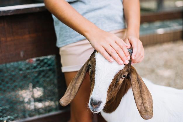 Primer plano de la mano de una niña en la cabeza de la cabra