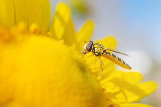 Primer plano de manzanilla y abeja amarilla