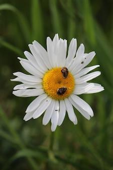 Primer plano de una margarita con dos pequeños insectos en ella