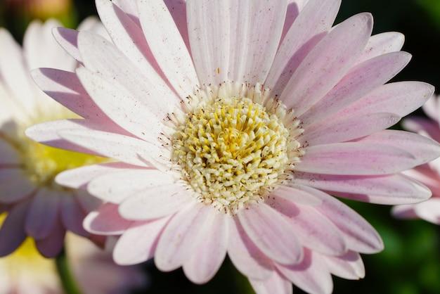 Primer plano de una margarita rosa transvaal bajo la luz del sol durante el día