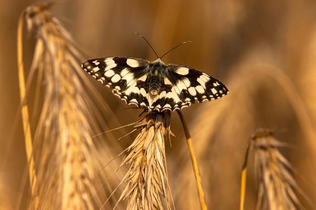 Primer plano de una mariposa en blanco y negro sentada sobre una planta amarilla seca