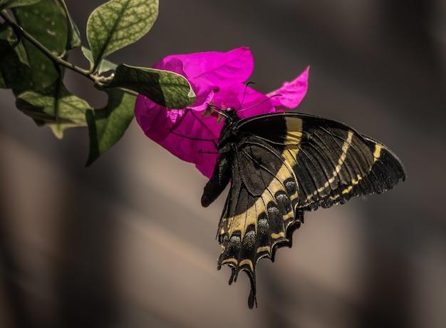 Primer plano de una mariposa real sobre una flor violeta