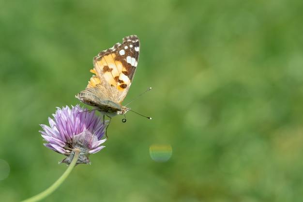 Primer plano de una mariposa sentada sobre una flor violeta