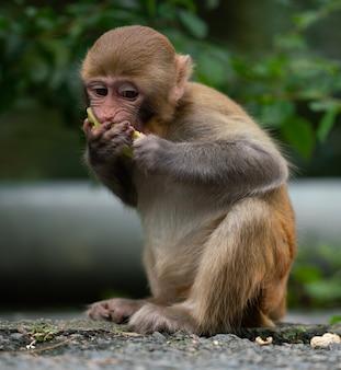 Un primer plano de un mono macaco rhesus comiendo