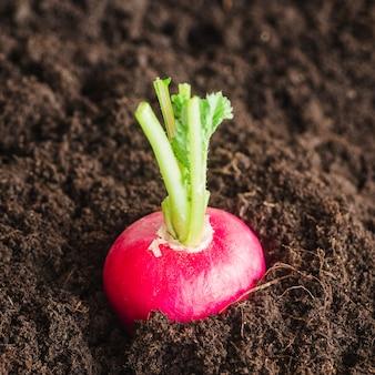 Primer plano de nabo rojo que crece en el suelo