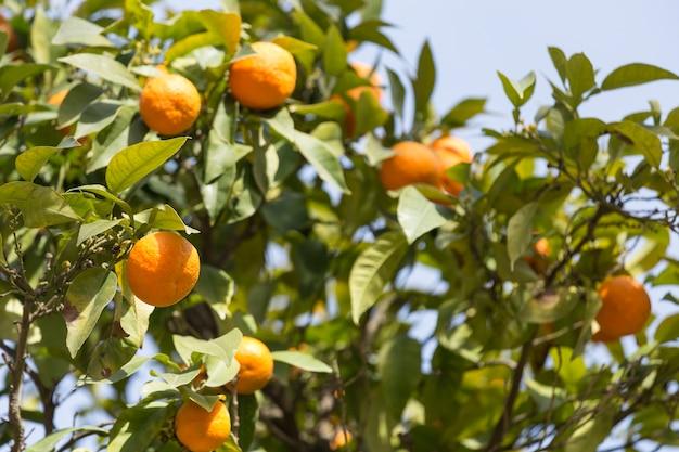 Primer plano de naranjo