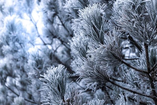 Primer plano de nieve en las ramas de los árboles de abeto