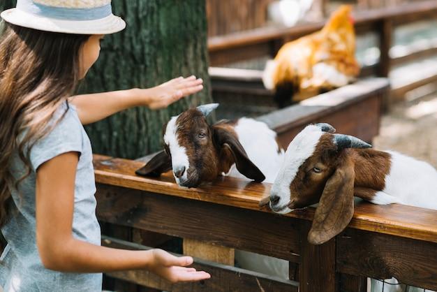 Primer plano de una niña acariciando cabras en el granero