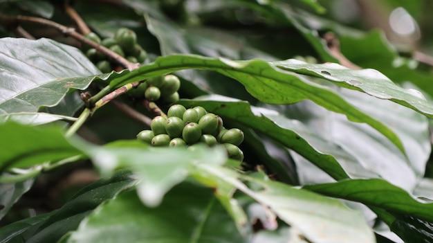 Primer plano de nueces que crecen en el roble de juego con natural borrosa