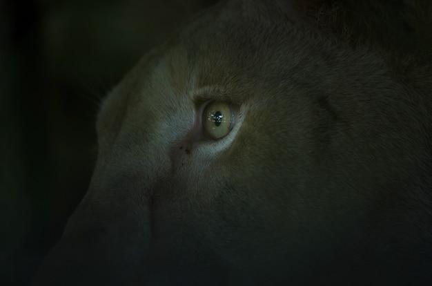 Primer plano de los ojos del león, extracto de animal.