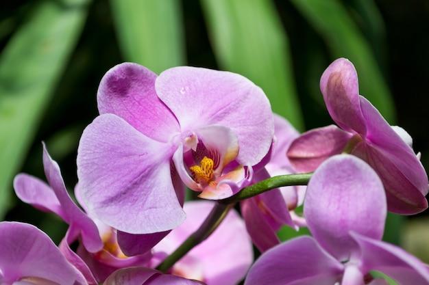 Primer plano de orquídeas rosadas frescas