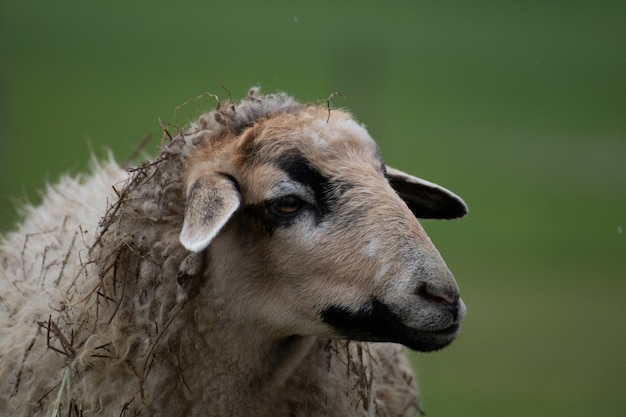 Primer plano de una oveja con un fondo borroso