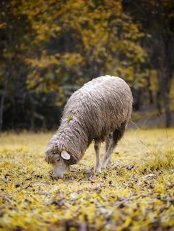 Primer plano de ovejas merinas pastando en la hierba bajo los árboles