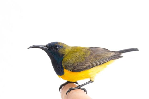 Primer plano de un pájaro del sol con espalda verde oliva