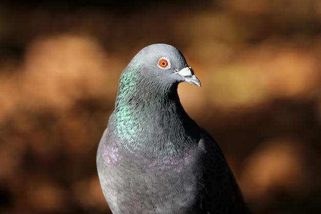 Primer plano de una paloma gris