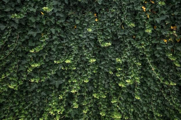 Primer plano de paredes de hiedra verde en luz natural