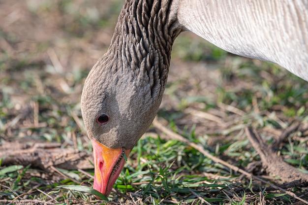 Primer plano de un pato real con su pico en el suelo