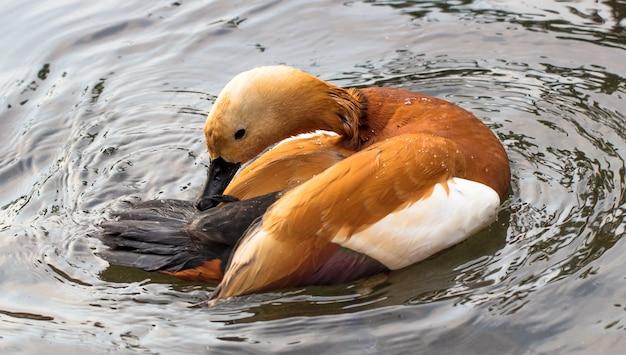Primer plano de un pato rufo nadando en un lago
