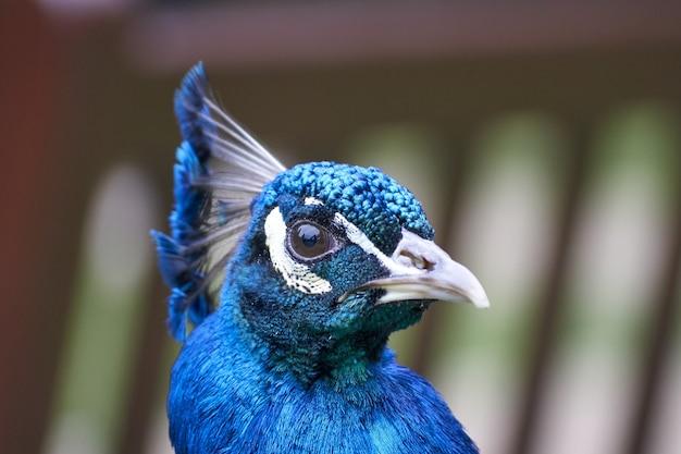 Primer plano de un pavo real azul sobre fondo borroso en el reino unido