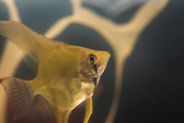 Primer plano de peces betta y contaminación plástica en segundo plano.