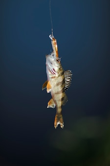 Primer plano de peces que cuelgan en señuelo de los pescados contra fondo azul