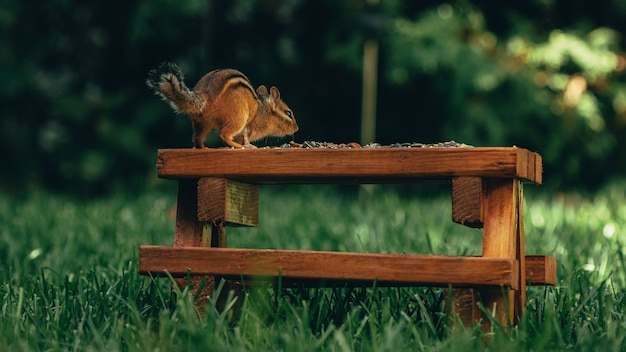Primer plano de una pequeña ardilla linda sobre una superficie de madera con nueces en un campo