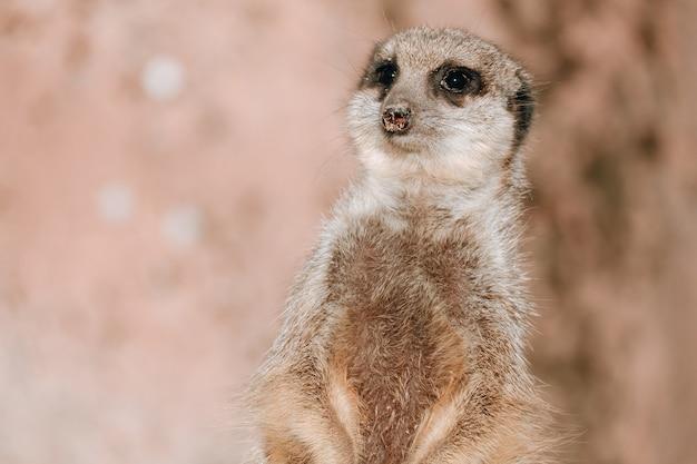 Primer plano de una pequeña suricata