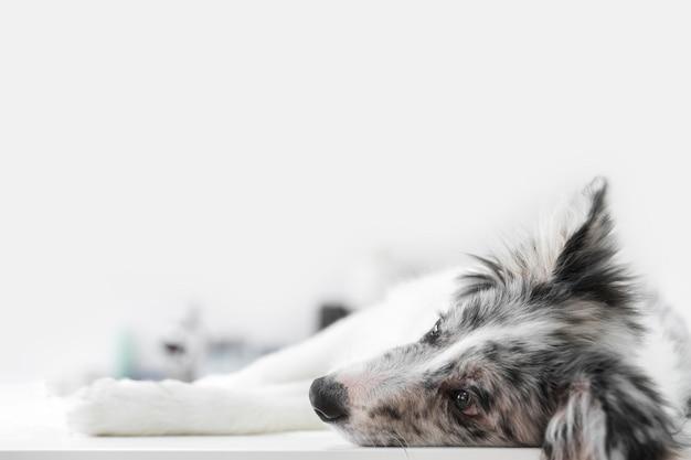 Primer plano de un perro enfermo acostado en la mesa en la clínica veterinaria