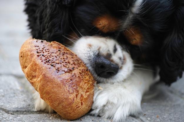 Primer plano de perro hambriento comiendo pan