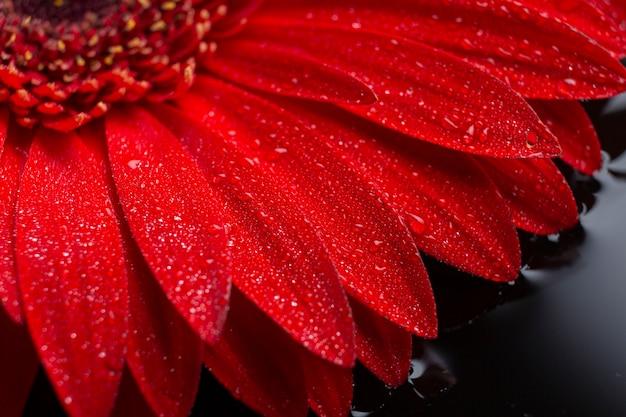 Primer plano de pétalos de flores de gerbera