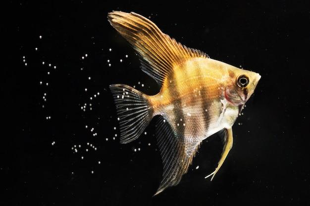 Primer plano de pez betta amarillo rodeado de burbujas
