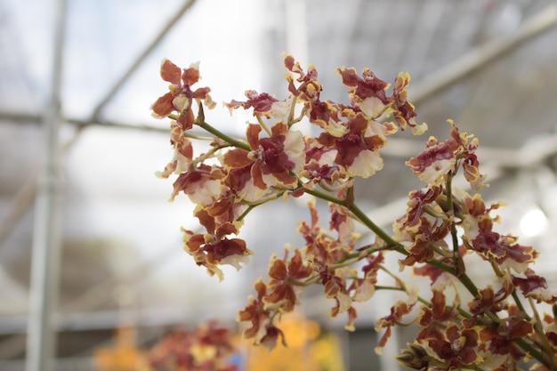 Primer plano phalaenopsis o polilla dendrobium orquídea flor en jardín tropical floral con espacio de copia