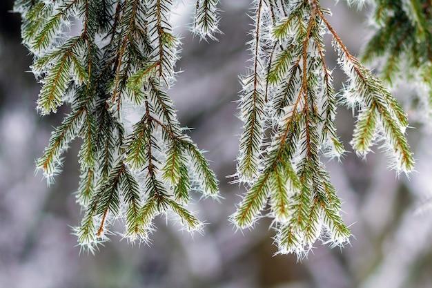 Primer plano de pino cubierto de nieve helada en invierno