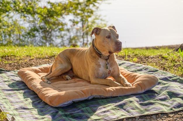 Primer plano de un pit bull terrier americano descansando sobre un paño
