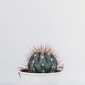 Primer plano de una planta de cactus sobre fondo blanco