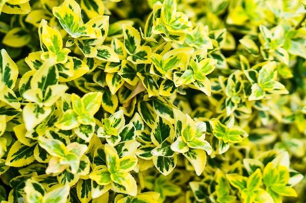 Primer plano de la planta del huso de la fortuna vibrante en amarillo y verde
